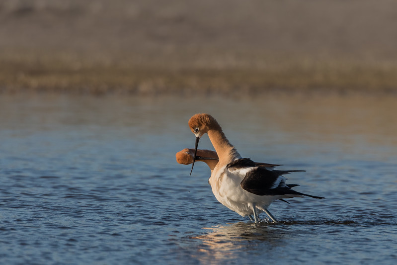 Post Copulation Crossed Bills - Mating Ritual American Avocets