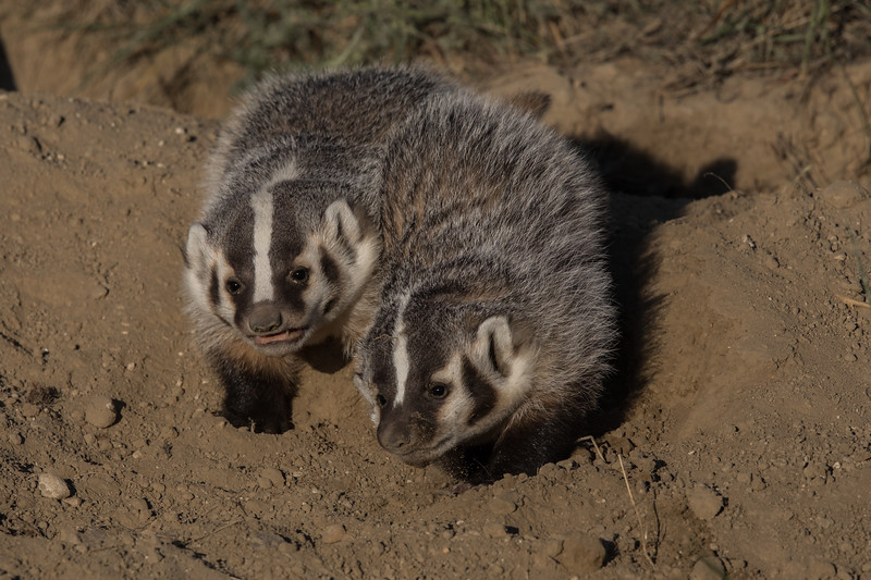 Sibling Badger Cubs