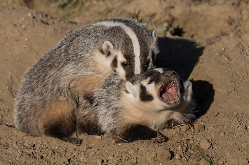 Sibling Badger Cubs