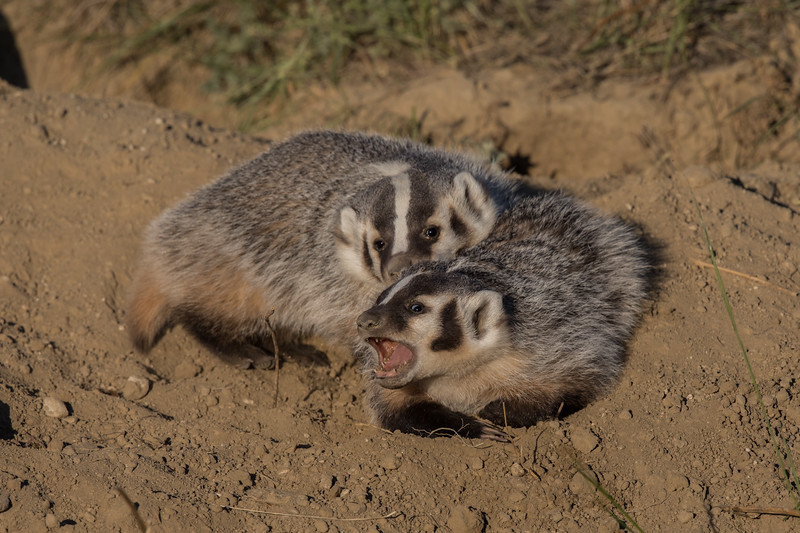 Sparring Badger Cubs