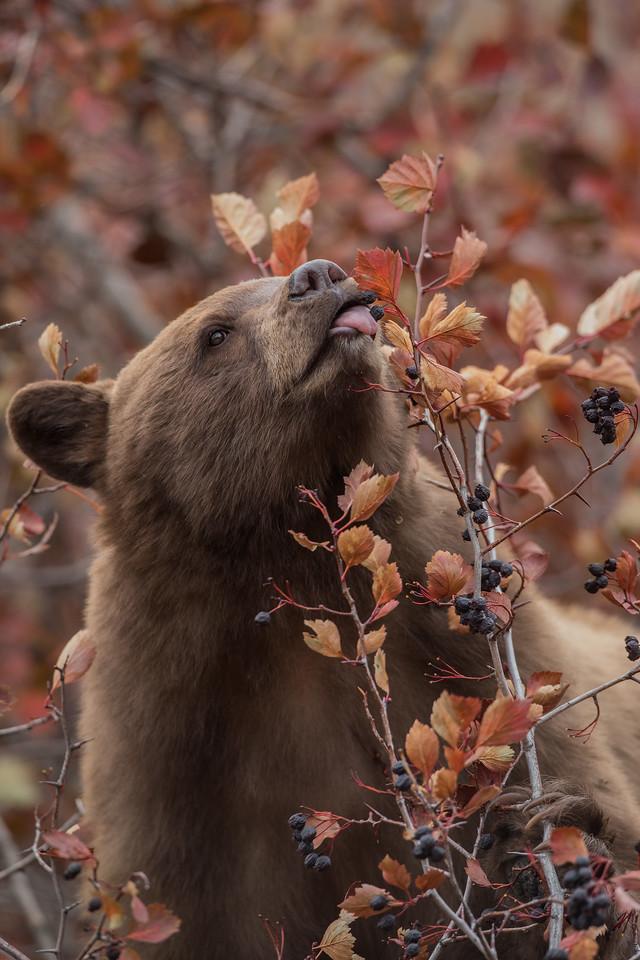 Hyperphagic Black Bear
