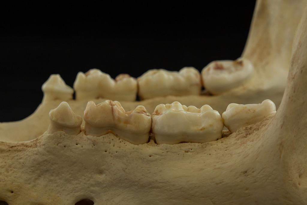 Lateral View Mandible and Molar Teeth of a Bear