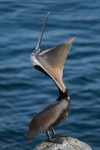 "California Brown Pelican ""Headthrow"""
