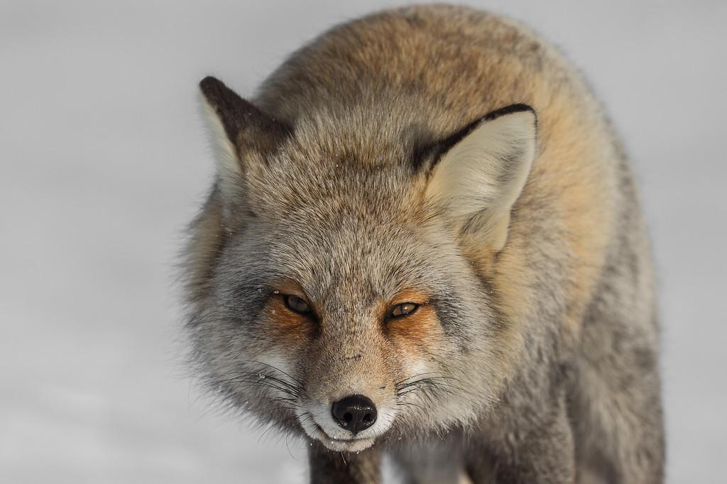 Dark color variant of a red fox (Vulpes vulpes).