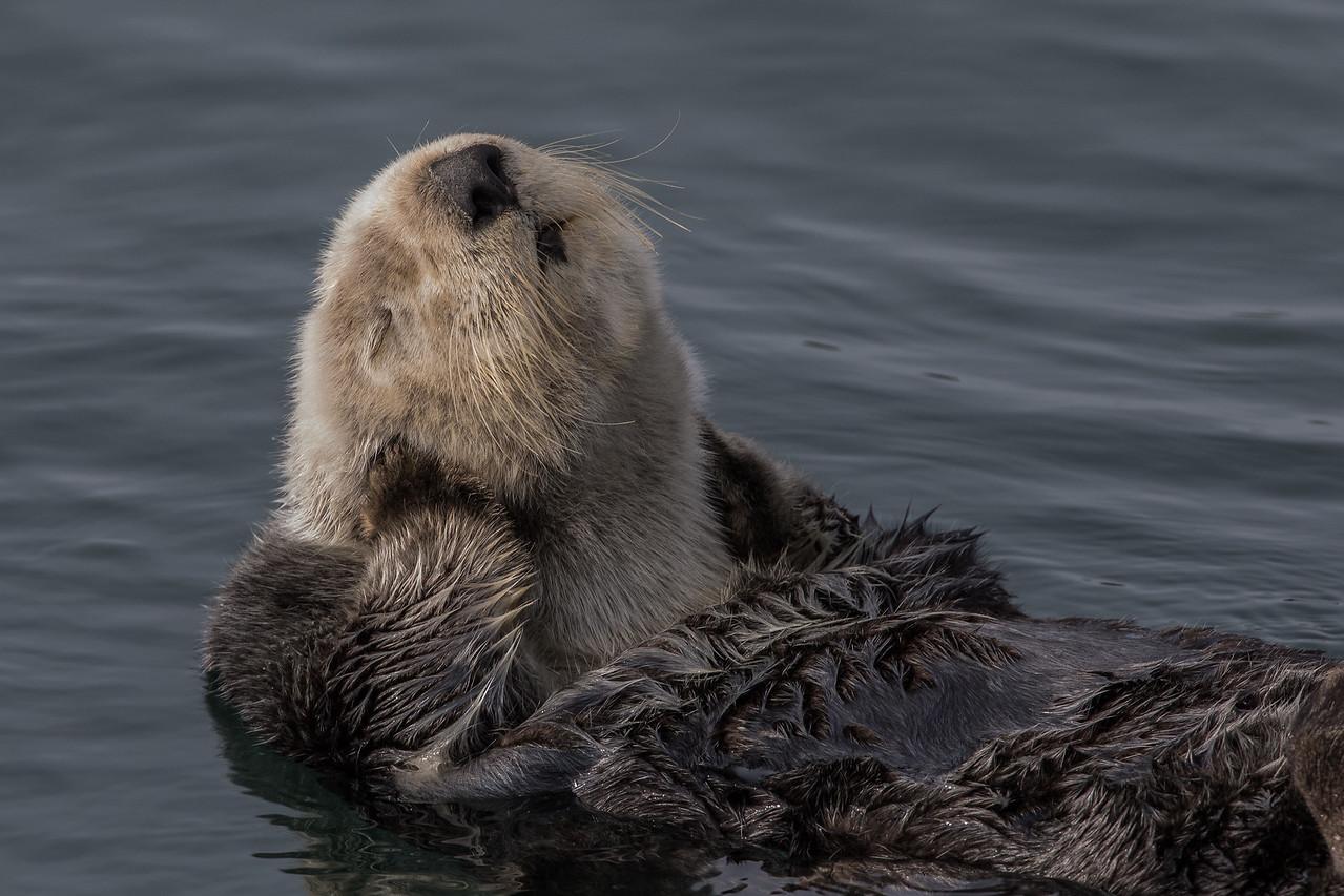 Sea Otter, Morro Bay, California March 2017.