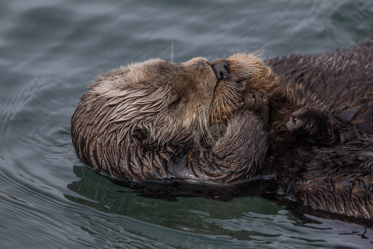 Sea Otter and Pup, Morro Bay, California March 2017.