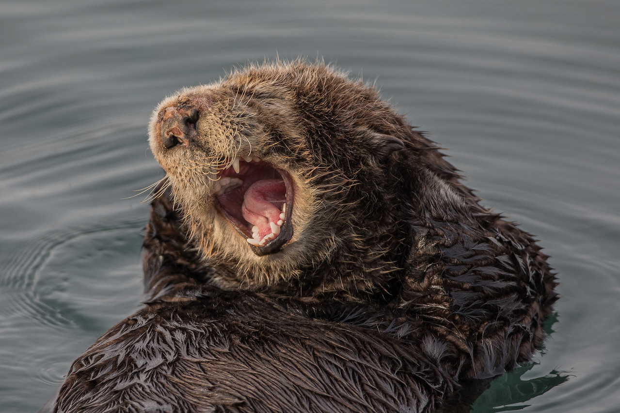 Mating Injury Female Sea Otter, Morro Bay, California March 2017.