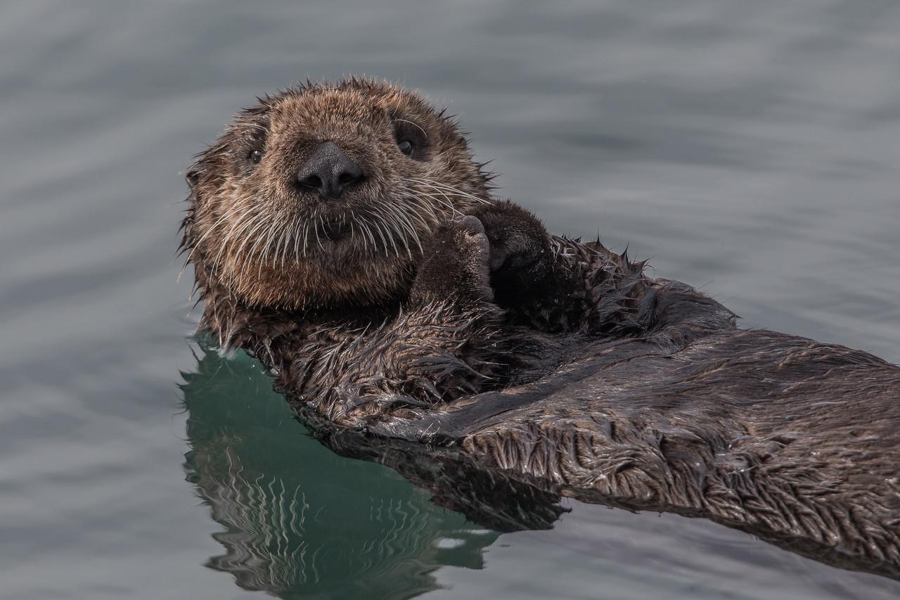 Sea Otter Pup, Morro Bay, California March 2017.