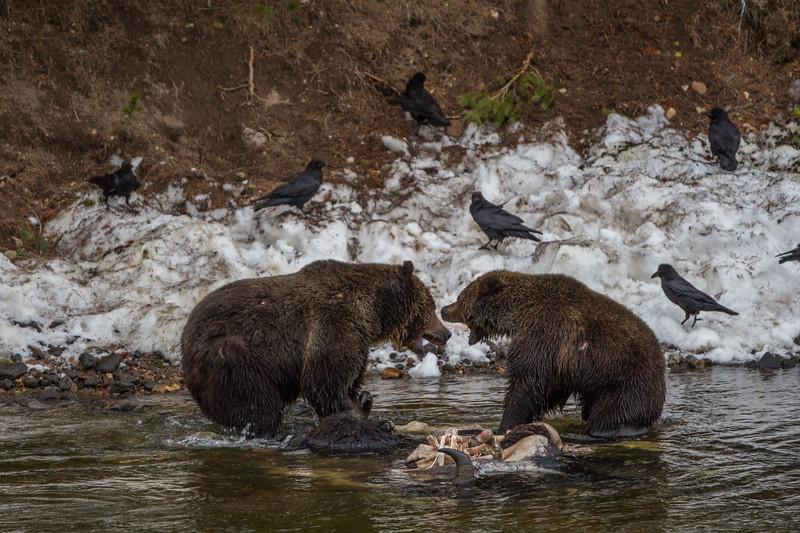 Two bears disagree