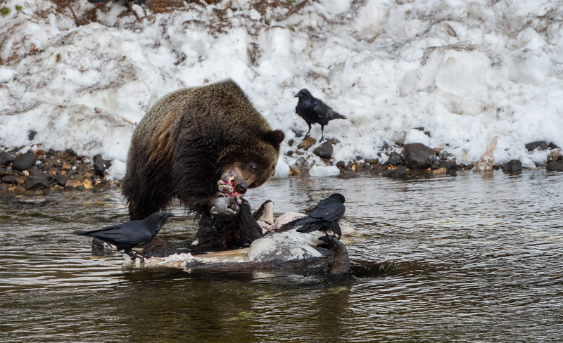 Most bears preferred eating the head