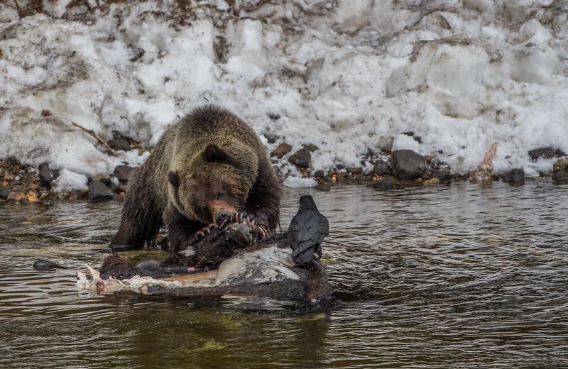 A dominant male grizzly bear (Ursus arctos horribilis)
