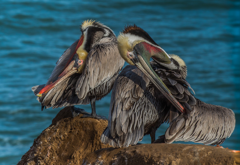 California Brown Pelicans (Pelecanus occidentalis)