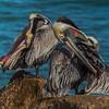 California Brown Pelicans (Pelecanus occidentalis)