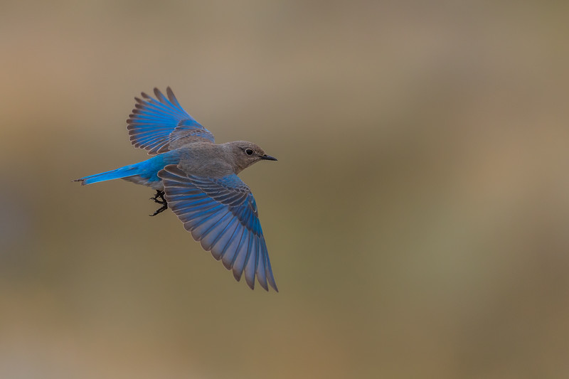 Mountain Blue Bird
