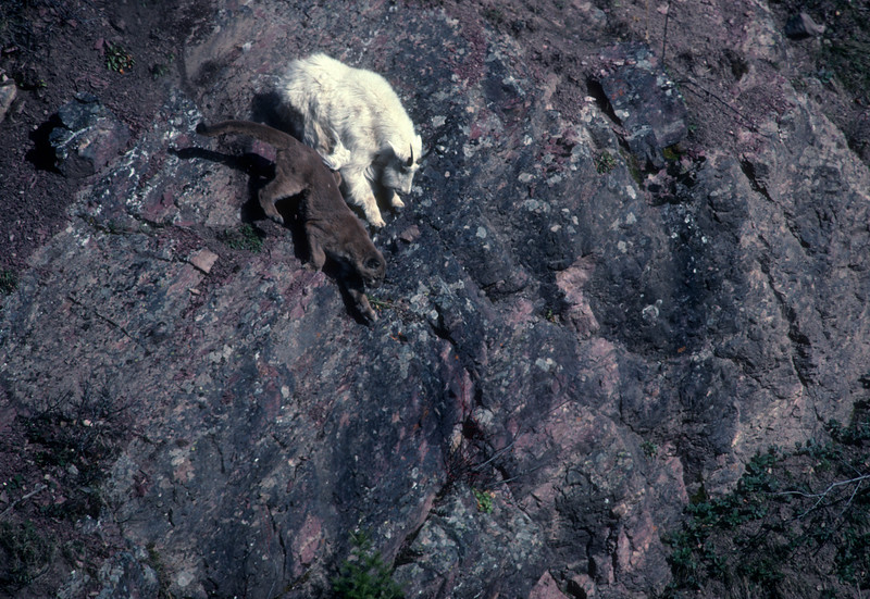 Momentum from the puma's charge  forces both animals down a steep rock face