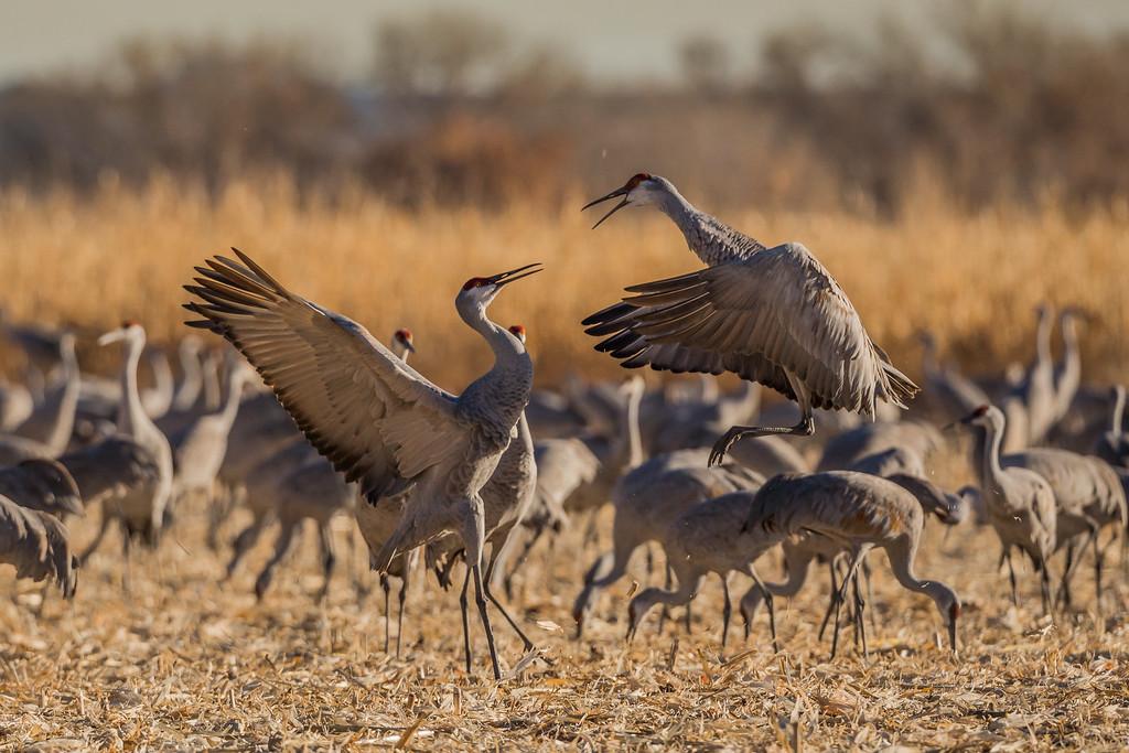 Sandhill Cranes Combat Sequence