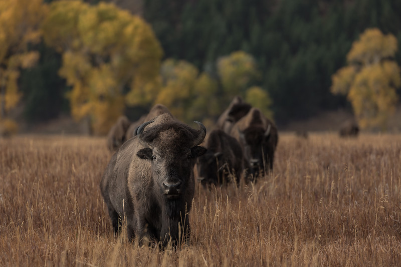 Autumn's Prairie Bison