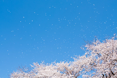 Falling Sakura is even more beautiful than Sakura. This photo taken with Satoshi Nagahata of Okayama