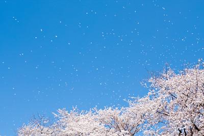 Falling Sakura is even more beautiful than Sakura. This photo taken with Satoshi Nagahata of Okayama