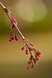 Just budding - Shidarezakura (weeping cherry)