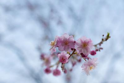 Shidarezakura (weeping cherry)