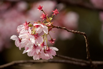 Yookoo Sakura