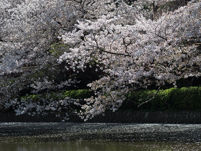 Sakura in full bloom by a lake