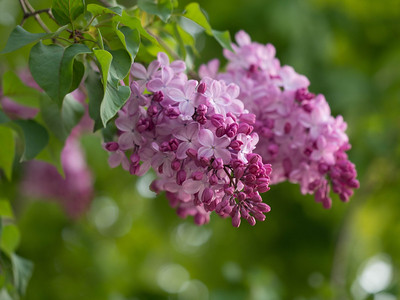 Lilacs in bloom at Odori Park