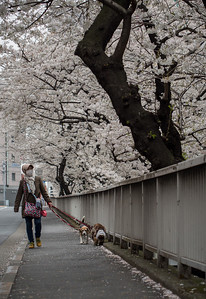Walking her dogs along the sakura lined road