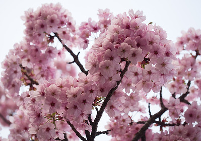 Luscious bunches of pink sakura
