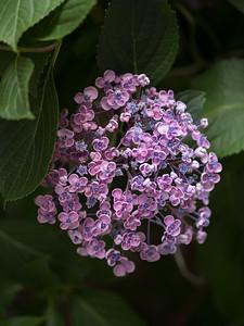 Purple florets, Niigata.