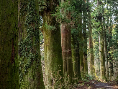 Japanese cedars.