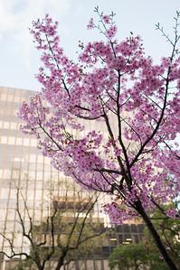 Pink Sakura, Takamatsu