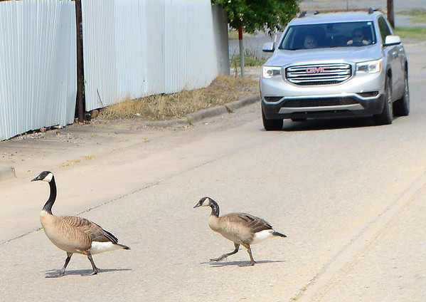 KEVIN HARVISON | Staff photo<br /> Why did the Geesse cross the road, to get to the other side of the road at Oak Hill Cementary Wednesday.