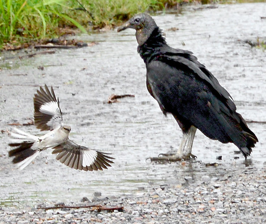 KEVIN HARVISON |<br /> A Mocking Bird, left, attacks and unsucessfully attempts to scare away a buzzard from the area.