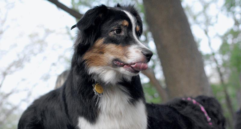 OLIVER (australian shepherd, 1 yr.) 3