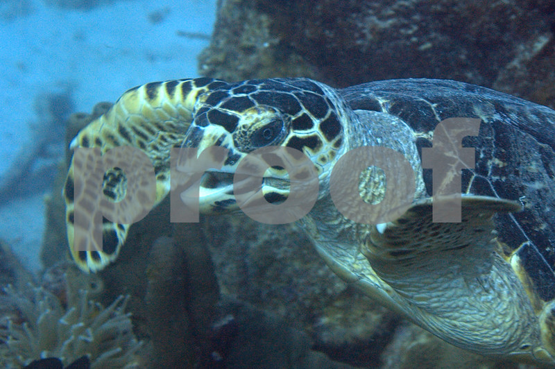 Hawksbill turtle can be distinguished from the Green Turtle by the four shell segments between their eyes