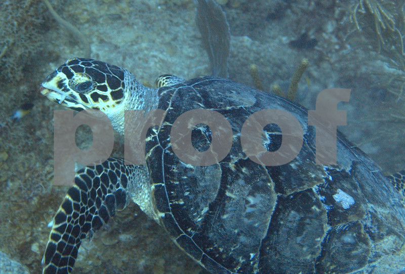 This photo gives a good example of the classic overhanging upper beak of the Hawksbill Turtle.