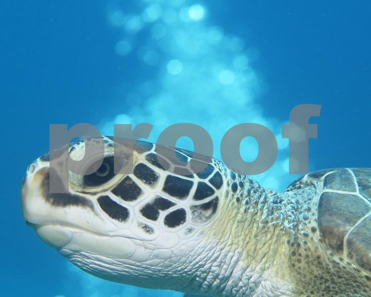 RIGHT PROFILE TURTLE