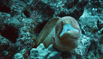 White Mouth Moray Eel