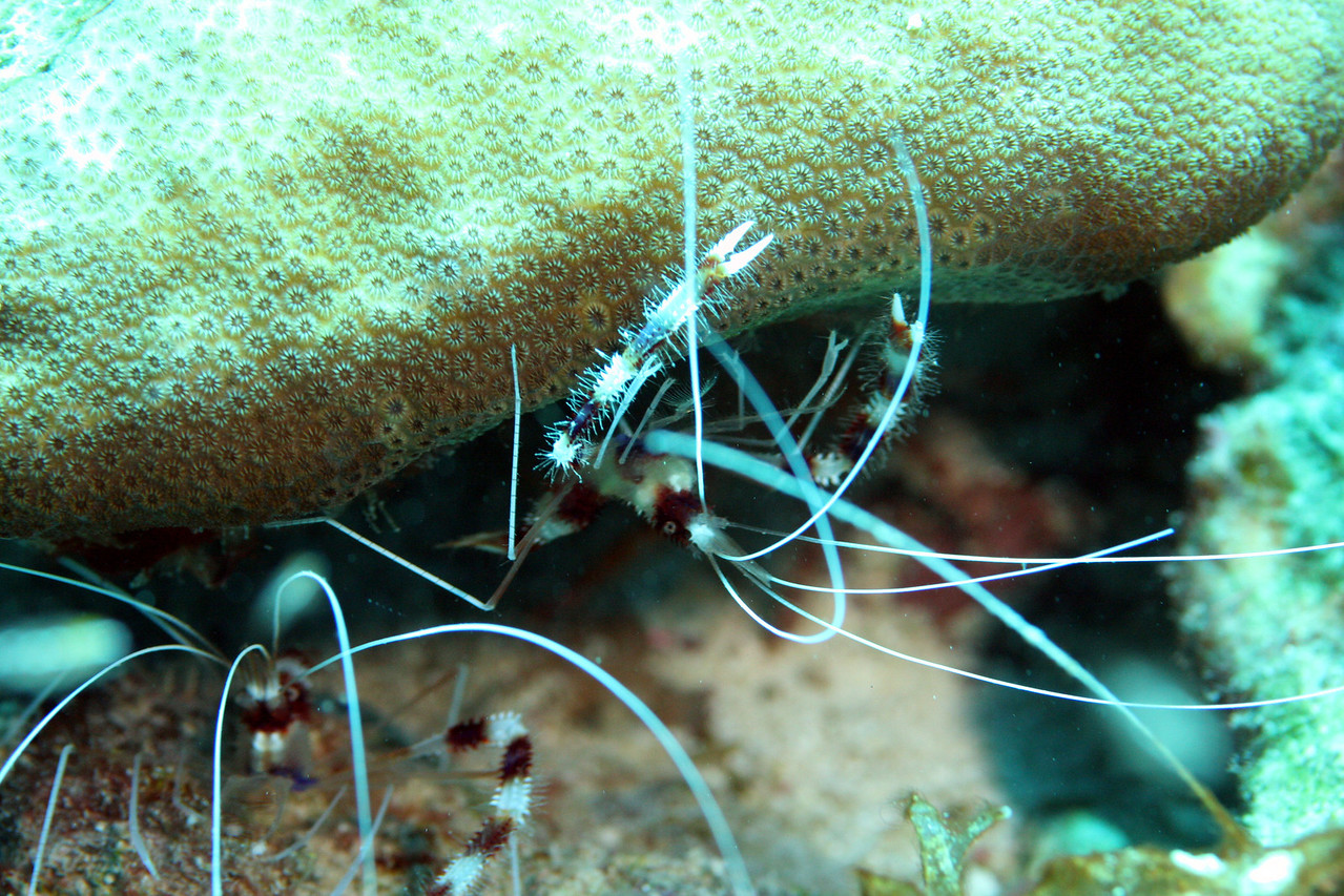 Red Banded Cleaner Shrimp