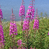 More Alaska fireweed......
