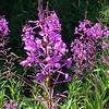 Alaska Fireweed....