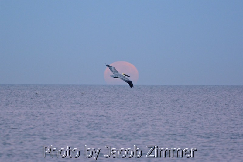 A pelican flies in front of the full setting moon over the Gulf of Mexico as seen from Clearwater Beach, FL. January 12, 2017.