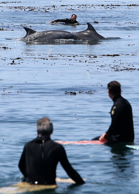 . Two dolphins swim past surfers during the paddle-out memorial for surfing legend Jack O\'Neill. (Kevin Johnson -- Santa Cruz Sentinel)