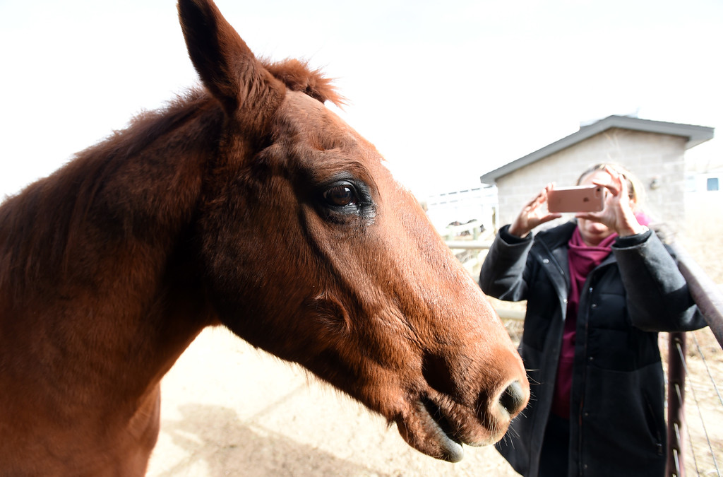 . Julie Johnson takes a photo of Jack. Julie Johnson, who tends to Boulder\'s one remaining horse - a holdover from the days when open space rangers patrolled the land on horseback,  was visiting with Jack, the horse, as she does on a daily basis.  Cliff Grassmick  Photographer  February 8, 2018