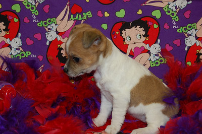 2008 Sold Jack Russell Terriers