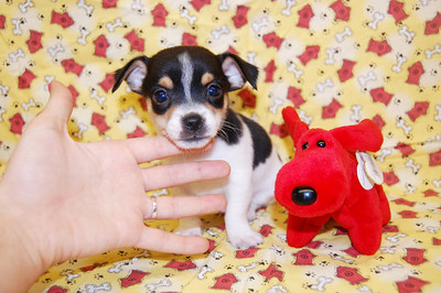 2009 Sold JACK RUSSELL TERRIER MIX