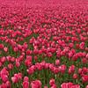 2007 Bellingham tulips