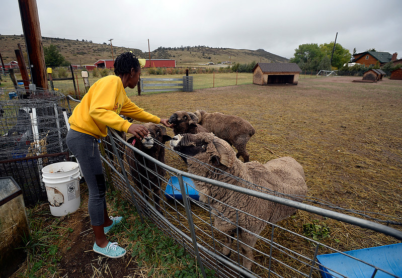 "Kyilah Jackson, 13, pets the rams Monday, Oct 2, 2017, that she has become fond of during her family's stay at a farm west of Loveland. Her family has been traveling the United States on their ""Love America Tour"". The Texas family is visiting the Loveland area as part of its journey to take their children to all 50 U.S. states via bus or train. All that is left are Hawaii and Alaska for the home school family.  (Photo by Jenny Sparks/Loveland Reporter-Herald)"
